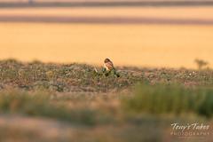 Burrowing Owl owlet keeping watch