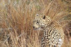 leopard looking (Chris the Borg) Tags: leopard wild beast animal sauvage bush afrique du sud south africa pilanesberg stare regard look eyes yeux nature beauté beauty
