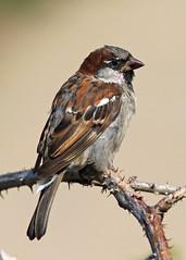 Sparrow (Treflyn) Tags: sparrow sea wall new quay ceredigion wales