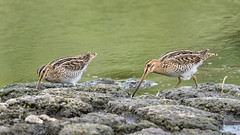 A couple of snipe (NikonNigel) Tags: copyrightâ©nigelcox copyrights snipe pair couple uk