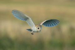 Barn Owl (Simon Stobart) Tags: barn owl tyto alba flying northeast england uk