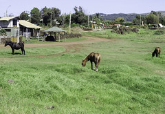 Wild Horses Roam Free Hanga Roa Easter Island Chile 02 (Barbara Brundage) Tags: wild horses roam free hanga roa easter island chile 02