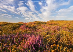 Dartmoor Heather (Explore) (Twogiantscoops) Tags: devonshire mostinteresting explored explore shutterrelease sky canon filters landscape tor southwest fineart light carryaorgandonorcard effects rockystructure westcountry luminosity creative chrismarshallsimages crop sunkissed country west countryfile 5dmk2 mirrorlock skydance heather painterly gorse ashburton painting creativity summer devon camouflage manfrotto cpfilter textural sundown 1635 tripod photography art flowers golden levels evening nature perspective haytor project scoopsimages colours flora donor camo rocks seasons emsworthy countryside celebration sunset britishheartfoundation outback neutraldensity rocklines areyouanorgandonor giftoflife dartmoor ndgrads wild clouds
