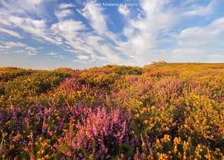 Dartmoor Heather (Explore)