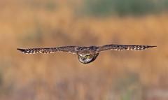 Burrowing owl (knobby6) Tags: burrowingowl littleowl california nikond500 500mmf4