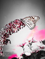 Butterflies (KevinBJensen) Tags: firework explode pyrotechnics firecracker burning sky pyrotechnic fireball sunset afterglow light show newyear national day butterflies butterfly add new keyword