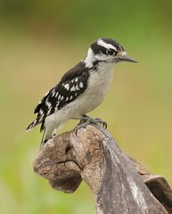 Considering the Options (Slow Turning) Tags: picoidespubescens downywoodpecker female bird perched wood stump summer southernontario canada