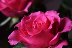 DSC_0885 (PeaTJay) Tags: nikond750 sigma reading lowerearley berkshire macro micro closeups gardens indoors nature flora fauna plants flowers rose roses rosebuds