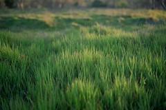 Evening Field (patking84) Tags: landscape portra400 fuji gw690iii 6x9 film kodak