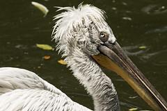 Dalmation Pelican (fantommst) Tags: lisaridings fantommst dalmatian pelican large largest pelecanus crispus singapur singapore jurong bird park sanctuary vulnerable conservation status massive