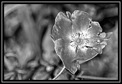 """Mono Flora..."" (NikonShutterBug1) Tags: nikond7100 tokina100mm nature bokeh spe smartphotoeditor closeup macro flower flora poppy blackwhite bw"