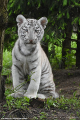 White Tiger Cub - Zoo Amneville (Mandenno photography) Tags: animal animals dierenpark dierentuin dieren amneville zooamneville tiger tijger tigers tijgers tigercub cub white whitetiger france frankrijk ngc nature bengal bengaalse bigcat big cat