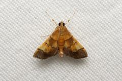 Crambidae, Spilomelinae sp. (Moth) - Isunga, Uganda (Nick Dean1) Tags: animalia arthropoda arthropod hexapoda hexapod insect insecta lepidoptera moth isunga kibalenationalpark kibale uganda
