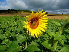 Sommer (chrisheidenreich) Tags: sunflower sonnenblume gelb yell blume flower