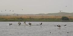 Greylag Geese - Splash Landings (Gilli8888) Tags: nikon p900 coolpix nature countryside druridge druridgeponds wetlands northumberland birds water waterbirds landscape geese greylaggeese birdsinflight
