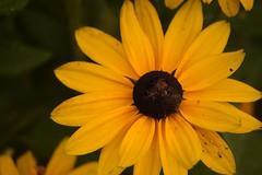 (jasminedeslauriers) Tags: fleur fleurs flower flowers yellow jaune white blanc violet mauve purple
