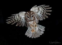 Tawny Owl (Nigel Hodson) Tags: canon 1dxmkii 1635mml wideangle tawny tawnyowl owl birdofprey wildlife wildlifephotography nature naturephotography birds birdphotography bird ianhowells