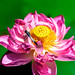 Dragonfly (Orthetrum albistylum) on Lotus Flower : 蓮にとまるシオカラトンボ