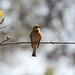 Merops pusillus (Little Bee-eater)