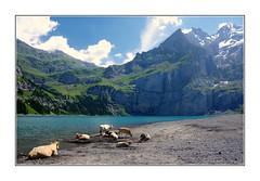 Vaches à la plage / Oeschinensee - Suisse (PtiteArvine) Tags: montagnes alpes oeschinensee oberlandbernois suisse lac vaches plage