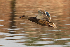 Low Flying Mallard.jpg (alan.forster16877@btopenworld.com) Tags: duck mallard flying