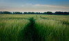 Grain field (R.Post) Tags: grain field nature natuur landschap landscape green netherlands holland twente twenterand