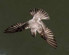 Swallow flight II (Fred Roe) Tags: nikond810 nikkorafs80400mmf4556ged nikonafsteleconvertertc14eii nature wildlife birds birding birdwatching birdwatcher birdinflight swallow northernroughwingedswallow stelgidopteryxserripennis peacevalleypark