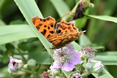 Comma feeding. (pstone646) Tags: butterfly comma insect nature wildlife fauna flora flower pollination feeding closeup kent animal