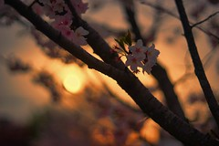 sunset flowers (gwuphd) Tags: zeiss sonnar 50mm f15 sunset flowers bokeh