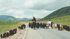 Horsemen and his Gangsters (little_stephy0925) Tags: fujifilm fuji fujifilmxh1 fujixh1 xh1 fujinonxf1655mm xf1655mm classicchrome mirrorlesscamera dzos dzo triptotibet journeytotibet china qinghai chinanationalhighway109 highway horsemen tibet tibetan herdsofdzos
