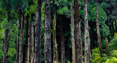 The place by the pines (abhishek.verma55) Tags: panorama landscape trees ©abhishekverma tree landscapes woods india canon550d beautifulnature beautiful incredibleindia landscapelovers colourful scenery scenic scene forest darjeeling jorpokhri outdoor outdoors outside flickr photography wood pine greens greenery green trunk travel explore colour colorful colors colours beauty nature natural wild timber westbengal magic dense environmental earth silence view morning hillside hills jungle mountainside vibrant vivid vibrance flickrtravelaward