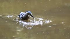 Garcita rayada - Butorides striata (Gercoja) Tags: naturaleza nature green verde armenia quindio colombia nikond5600 nikondx70300afpvr aves birding agua lago water garcita rayada butorides striata