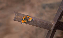 Cross (music_man800) Tags: aglais urticae small tortoiseshell butterfly butterflies insect wildlife flora fauna world nature natural light lepidoptera outdoors outside orange germany apollotrail valwig moselle mosel river valley trail walk hike hot warm sunny day june morning 2018 cross metal railing rocks rockface cliff sheltered spot bask wings open canon 700d adobe lightroom creative cloud edit photography macro closeup sigma 150mm prime lens