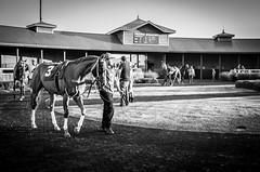A Night at the Races (Phil Roeder) Tags: desmoines iowa prairiemeadows racetrack horse horseracing thoroughbred blackandwhite monochrome leica leicax2