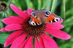 Tagpfauenauge (Aglais io) (Hugo von Schreck) Tags: hugovonschreck fantasticnature tagpfauenauge aglaisio schmetterling butterfly falter macro makro insect insekt canoneos5dsr tamron28300mmf3563divcpzda010