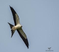 Swallow-tailed Kite Loudoun County, Virginia (AnthonyVanSchoor) Tags: anthonyvanschoor maryland usa nikond7100 tamron150600mmtelephotolens tamron virginia rarity rare rarebird swallowtailedkite