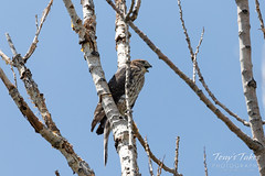Young Cooper's Hawk making some noise