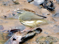 Northern Waterthrush (An Ozark Naturalist) Tags: parkesianoveboracensis northernwaterthrush birds bird johnsonsshutins warbler warblers woodwarbler woodwarblers