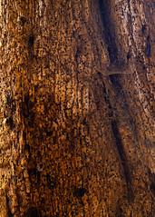 Woodworm Detail (CactusD) Tags: woodworm oak linhof technikardan tks45 5x4 4x5 largeformat large format movements film wood detail details texture textures uk greatbritain great britain unitedkingdom united kingdom england oxfordshire greatcoxwellbarn coxwell barn nikon d800e 85pce 85mmf28pce micro digitized nikkor nikkorw210mmf56 210mm f56 f28 85mm provia fujifilm fujichrome 100f