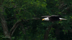 Bald Eagles of the Jersey Shore | 2018 - 46 (RGL_Photography) Tags: americanbaldeagle bif baldeagle birding birds birdsinflight birdsofprey birdwatching eagle freedom gardenstate godblessamerica haliaeetusleucocephalus jerseyshore monmouthcounty newjersey nikonafs600mmf4gedvr nikond500 raptors symbolofamerica us unitedstates wildlife wildlifephotography
