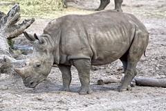 Man, Can He Play the Horn (Darts5) Tags: rhino rhinoceros animal mammal 7d2 7dmarkll 7dmarkii 7d2canon ef100400mmlll closeup canon7d2 canon7dmarkll canon7dmarkii canon canonef100400mmlii