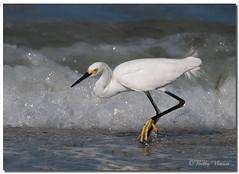 Snowy Egret Fishing (Betty Vlasiu) Tags: snowy egret fishing egretta thula bird nature wildlife florida