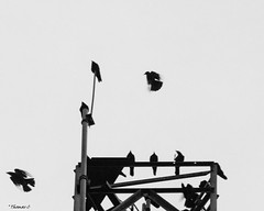 The Aerial Show (that_damn_duck) Tags: nikon blackwhite monochrome crows nature flight feathers bw blackandwhite