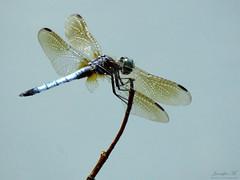 Blue Dasher IMG_0473 (Jennz World) Tags: ©jennifermlivick mountpleasantnaturepark mountpleasant ontario canada dragonfly damselfly caterpillar butterfly
