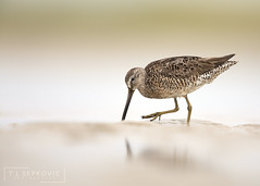 Short-billed Dowitcher (T L Sepkovic) Tags: shortbilleddowitcher dowitcher shorebird wader beach reflection foot canon 5dmkiv lenscoat