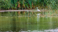 Marsh Lane Nature Reserve 29th July 2018 (boddle (Steve Hart)) Tags: stevestevenhartcoventryunitedkingdomcanon5d4 marsh lane nature reserve 29th july 2018 steve hart boddle steven bruce wyke road wyken coventry united kingdon england great britain canon 5d mk4 6d 100400mm is usm ii wild wilds wildlife life natural bird birds flowers flower fungii fungus insect insects spiders butterfly moth butterflies moths creepy crawley winter spring summer autumn seasons sunset weather sun sky cloud clouds panoramic landscape hamptoninarden unitedkingdom gb