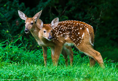 2018.07.31.1422 Fawns (Brunswick Forge) Tags: 2018 summer woods deer feeding outdoor outdoors home wildlife nature animals animal animalportraits nikond500 virginia botetourtcounty commented favorited