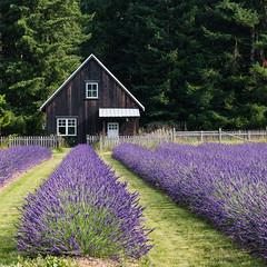 Lavender Field (Gene Mordaunt) Tags: lavender windwardlavenderfarm britishcolumbia canada flowers purple farm frenchlavender flower tree garden