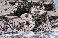 starfish and mussels Islas Ballestas Paracas Peru (roli_b) Tags: seestern muschel muscheln starfish mussel mussels sea seashore shore shoreline cliff kliff felsen islas ballestas paracas peru reserva nacional park national zona