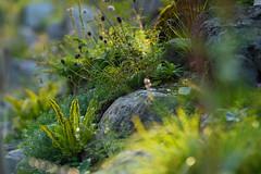 Alpine Flora (Ernst_P.) Tags: austria aut botanischergarten innsbruck österreich tirol pflanze blume blüte autriche tyrol samyang walimex 135mm f20
